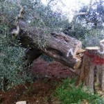 xylella-fastidiosa-nature